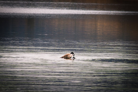 Geese Mating in Calm Rippling Water
