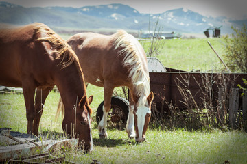 Two Horses Eating Grass on a Farm