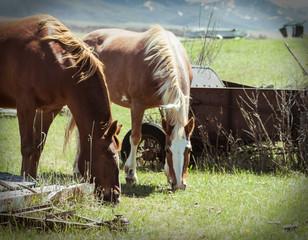 Focus on a Farm Horses Eating Green Grass
