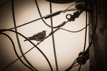 Black and White of a Robin Sitting Among Electrical Wires