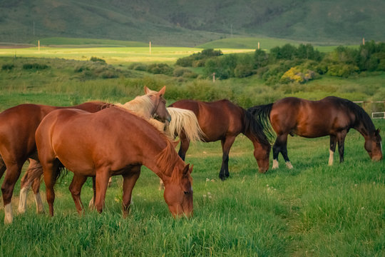 Group of Grazing Horses