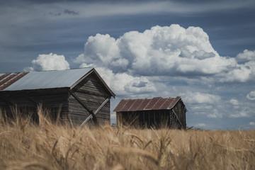 Old  Abandoned Farm Shacks in a Wheat Field