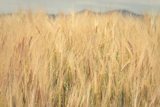 Golden Grain Plants Closeup