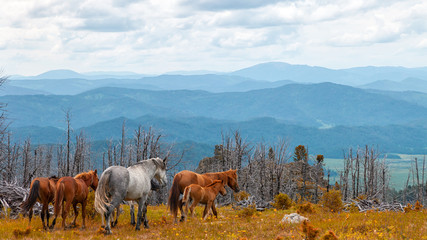 Gray and brown horses running free in meadow with forest with high mountain, river and sky backdrop. horse in the wild. freedom concept