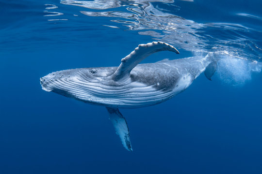 Baby Humpback Whale Calf In Blue Water