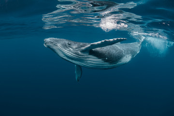 A Baby Humpback Whale Plays Near the Surface in Blue Water