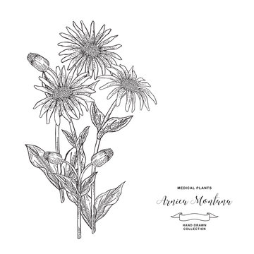 Arnica montana plant. Hand drawn flowers and leaves of arnica. Medical hebs collection. Vector illustration botanical. Vintage engraving.