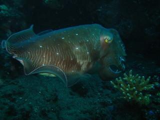 Oktopus - Tintenfisch - Sepia
