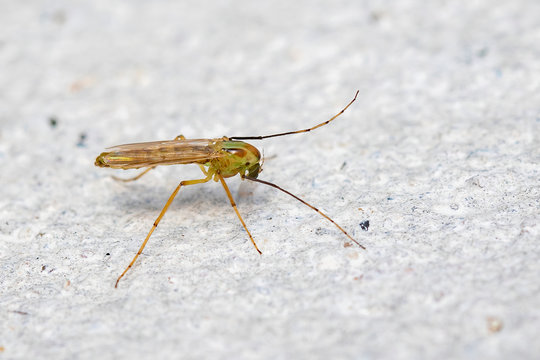 Image of a chironomids or non-biting midges on a white background . Insect. Animal.