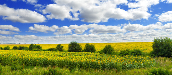 Fototapete - Panoramic view on sunflower field with cloudly sky