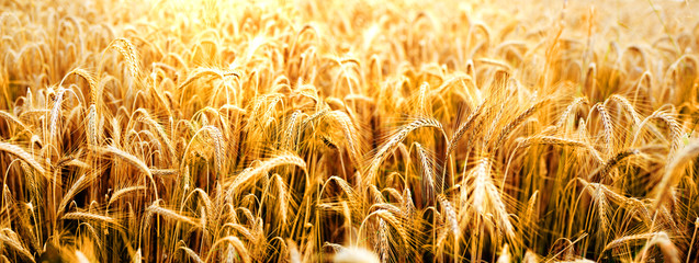 Ripe golden wheat field for harvest