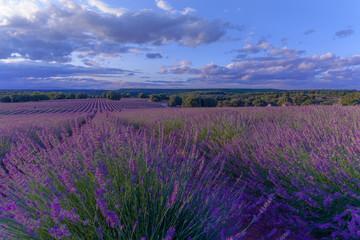Garden Poster Lavender Campo de lavanda con cielo el ciel azul y algunas nubes