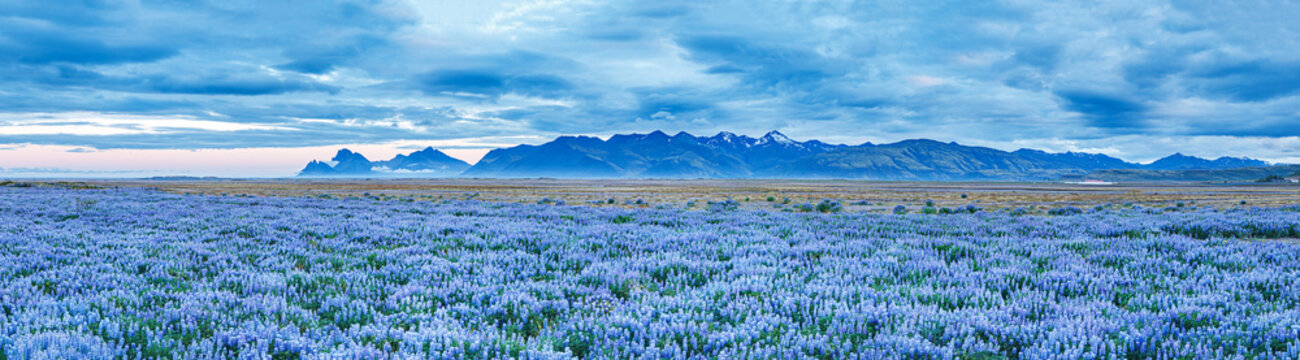 Banner for web-design: spectacular view on blooming fields of lupine flowers at mountain peaks background in Iceland during white nights, summertime. Amazing Icelandic panorama landscape in blue color