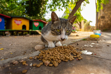 Portrait of street homeless cat eating food at special place outdoor where people helping cats to survive. Wide low angle horizontal color photography.
