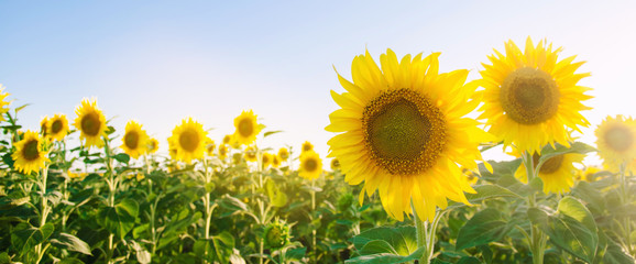 Fotobehang Zonnebloem Beautiful young sunflower growing in a field at sunset. Agriculture and farming. Agricultural crops. Helianthus. Natural background. Yellow flower. Ukraine, Kherson region. Selective focus