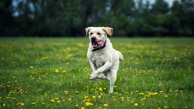 white labrador runs contented over a green field in colors