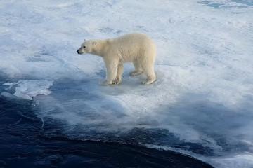 Polar bear on an ice floe. Arctic predator