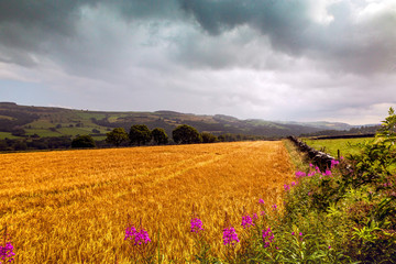 Field of gold in Yorkshire