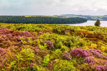 field of  Purple heather flowers in Yorkshire, UK