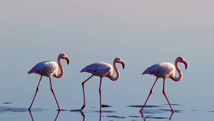 A group of pink flamingo birds in the wild in Namibia