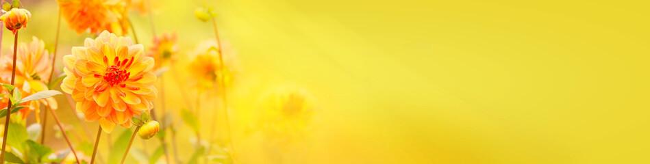 Photo sur Plexiglas Dahlia Beautiful golden dahlia flowers - Autumn background, banner, panorama