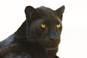 Foto auf Leinwand Panther The leopard (Panthera pardus) portrait. Melanistic leopard are also called black panther.