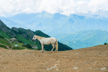 white horse on a mountain pasture. White wild horse