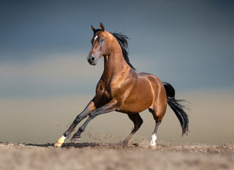 bay arabian horse running in desert