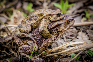 Frogs mating on ground