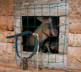 Two brown goats at the window of a goat pen
