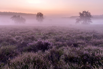Fototapeten Natur Sunrise on the Heide - De Teut in Limburg, Belgium