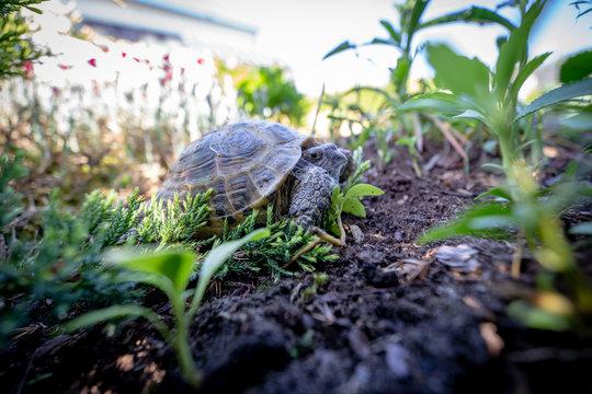 Russian tortoise scared