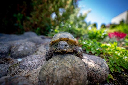 Russian tortoise climbing on rock