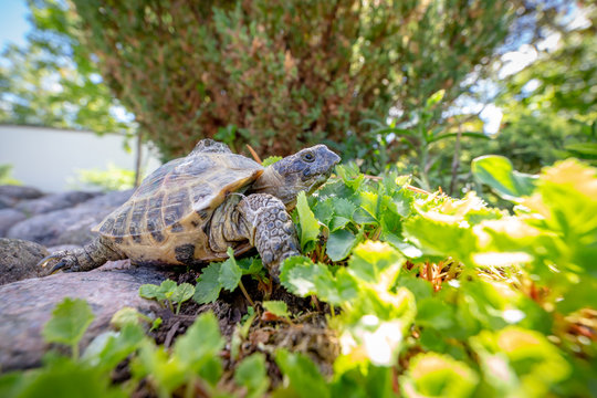 Russian tortoise exploring