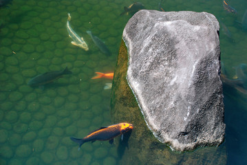 Koi carp in the waters of a shady pond at Koko-En Gardens in Himeji, Japan