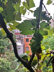 Grapes grow on the vine at vintner and retired engineering professor Latif Jiji's rooftop at his home on the Upper East Side in New York City