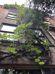 Grapevines climb up the back of vintner and retired engineering professor Latif Jiji's rooftop four-storey brownstone at his home on the Upper East Side in New York City