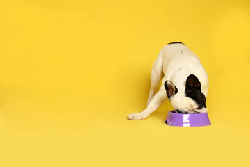 French bulldog eating food from bowl on yellow background. Space for text Wall mural
