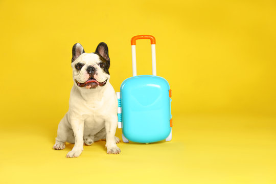 French bulldog with little suitcase on yellow background. Space for text