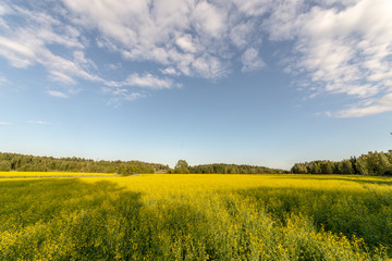 Very colorful picture of a field in the warm summer day. Blue sky an bright yellow flowers. Beautiful view.