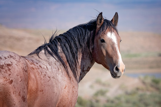 Portrait of wild stallion horse from Sand Wash Basin