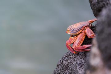 Red Rock Crab on Santa Cruz, Galapagos Islands, Ecuador, South America.