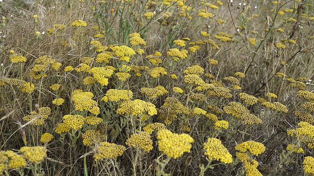 yellow yarrow, medicinal plants, natural yarrow in nature,