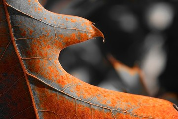 Cougar rusty and grey color leaf detail