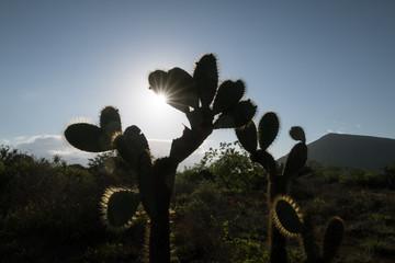 Giant Prickly Pear cactus, Puerto Egas, Santiago island, Galapagos Islands, Ecuador, South America.