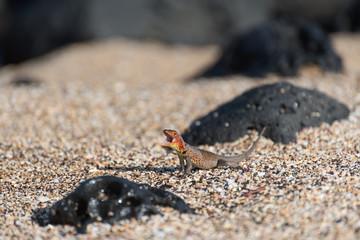 A Galapagos Lava Lizard (Microlophus albemarlensis) in Puerto Egas (Egas Port) on Santiago Island, Galapagos Island, Ecuador, South America.