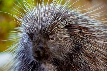 Close-up of porcupine at Kroscel Films Wildlife Center, in Skagway, Alaska