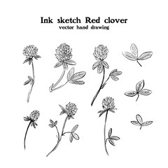Ink sketch drawing illustration of Red clover, Trifolium pratense, meadow, pasture, field and hay plant. Medicinal plant. Black and white frame.