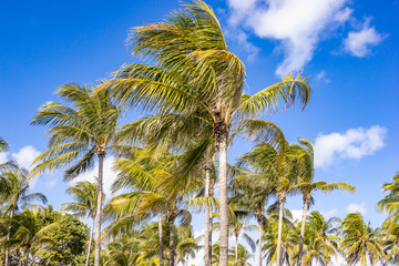 Coconut trees,plam trees at tropical coast on beach with sky background.