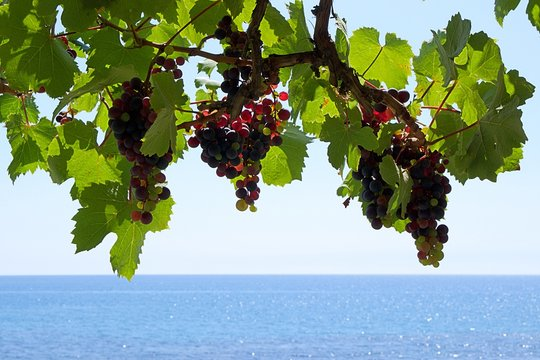 Bunches of grapes at a vine. Blurred background of the mediterranean sea and blue sky